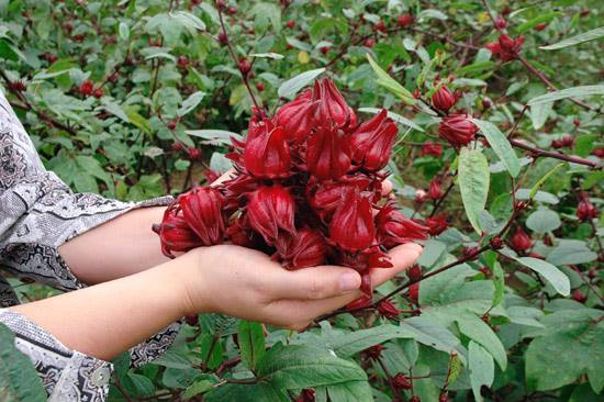 Cây Hồng Hoa sabdariffa L. là loài cây cứu cánh cho xã đảo nghèo